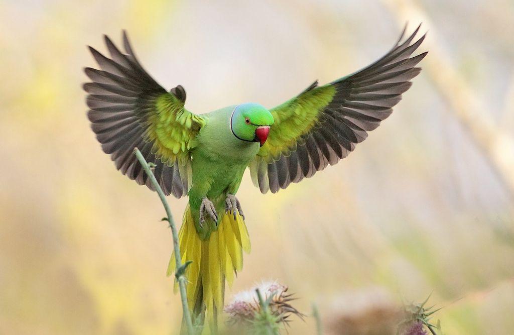 Большую часть жизни ожереловые попугаи проводят на деревьях, поэтому обитают в основном в лесах