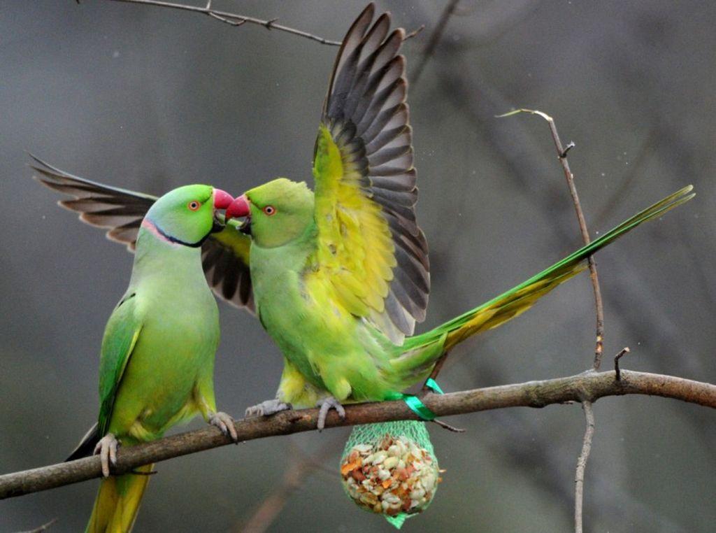 Пара ожелеровых попугаев