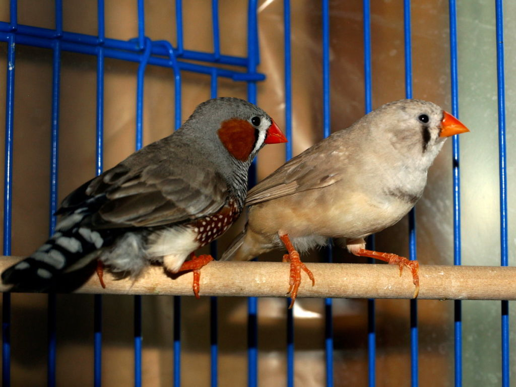 Амадины – небольшие, жизнерадостные и чрезвычайно забавные птички
