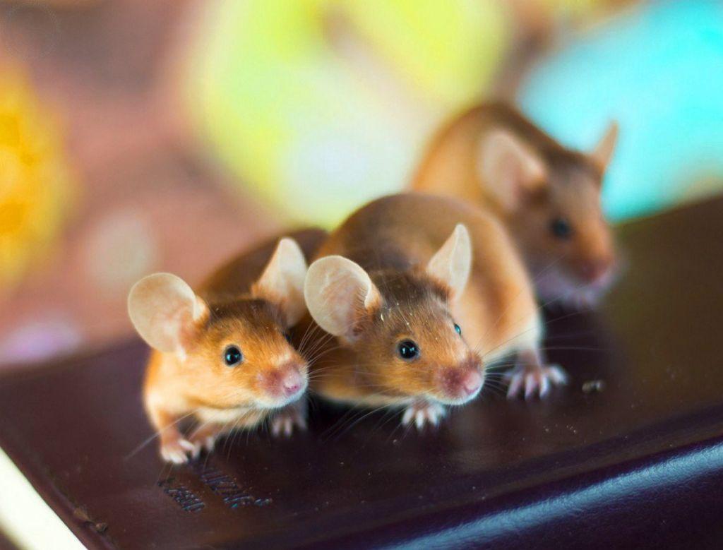 Сколько лет живут декоративные домашние мыши, как выглядят и что едят
