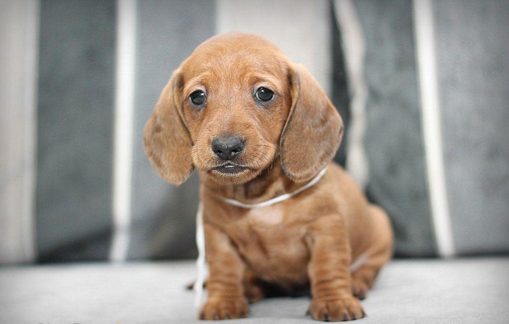Подробное описание и характеристика породы собак такса