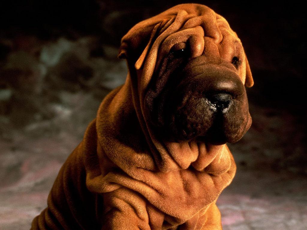 Подробное описание и характер породы собак шарпей