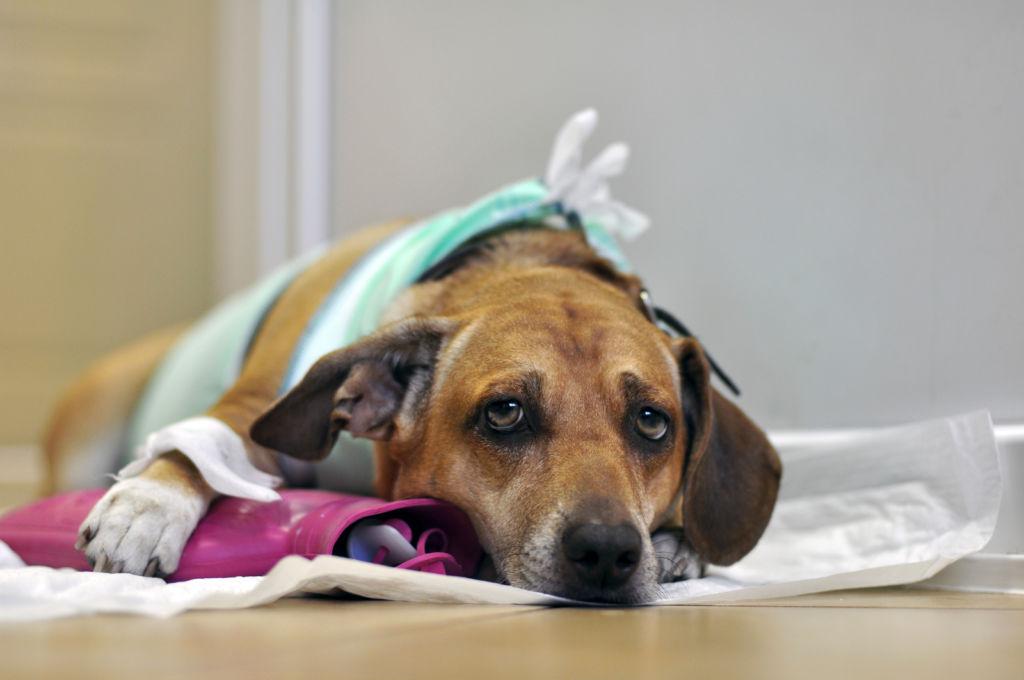 Собака часто дышит высунув язык или бывает ли простуда у собак?