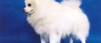 Белый шпиц и 11 других разновидностей окраса