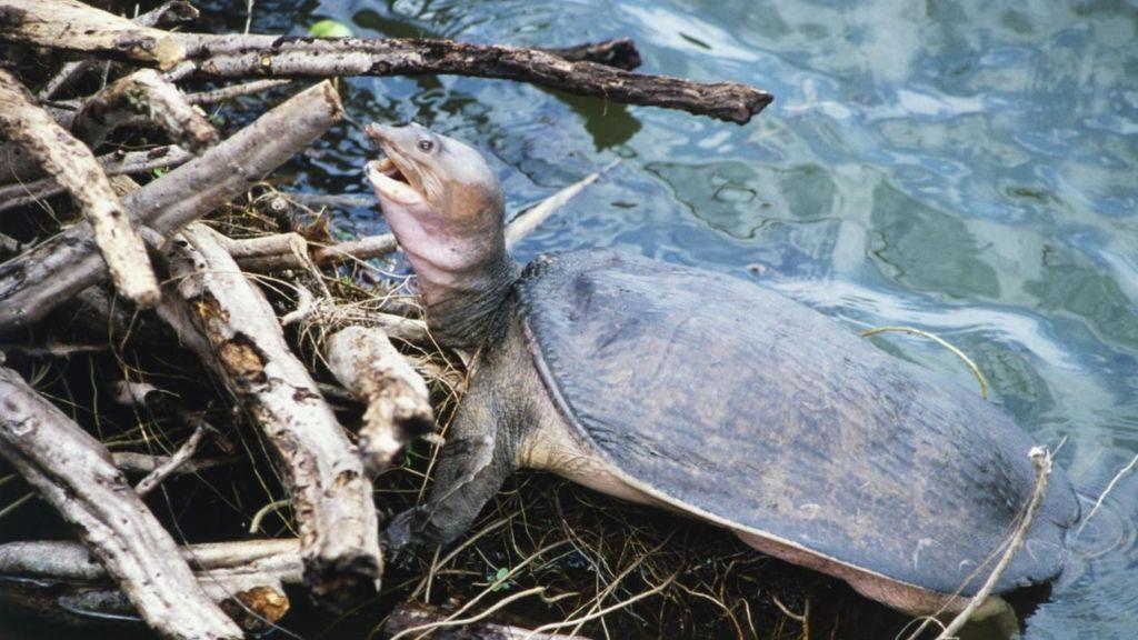 Мягкотелые черепахи отличные пловцы и редко выбираются на берег
