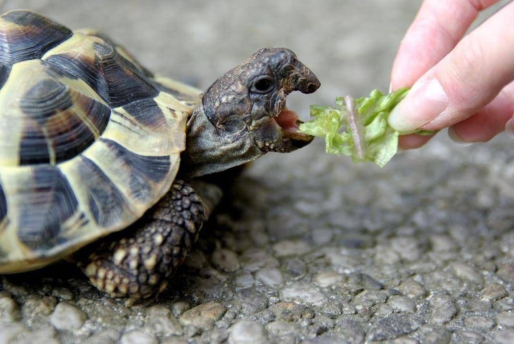 За неделю до начала зимовки черепах нужно прекратить кормить