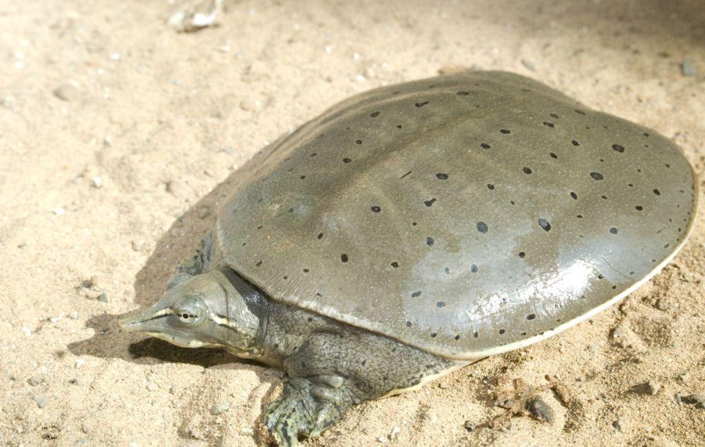 Дальневосточная черепаха трионикс