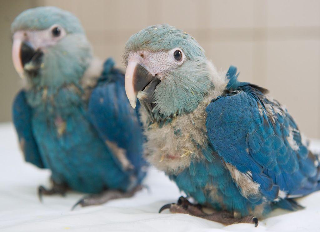 Единственно, что может спасти редких попугаев от вымирания - это разведение в неволе