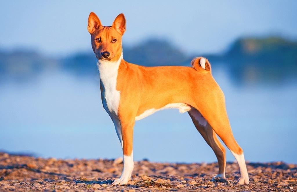 10 пород собак, которые не лают