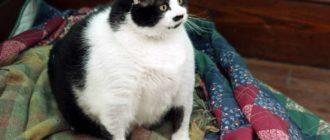 Самые толстые коты в мире