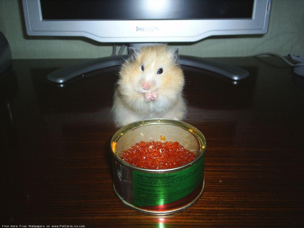 Чем можно кормить хомяка в домашних условиях — полный список продуктов