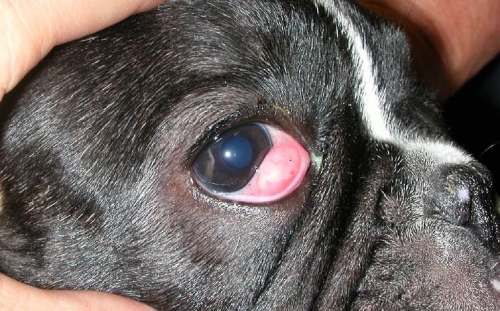 3 вида заболевания третьего века у собак и способы лечения
