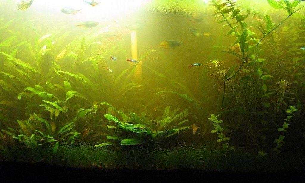 Помимо водорослей причиной загрязнения может быть несвоевременная замена воды и неправильная чистка
