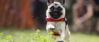 Подробная характеристика и описание породы собак мопс