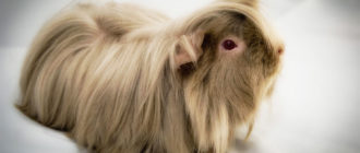 Что едят морские свинки, содержание и уход в домашних условиях