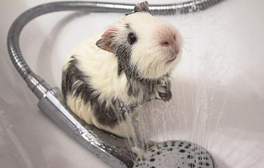 Старайтесь купать морскую свинку как можно реже