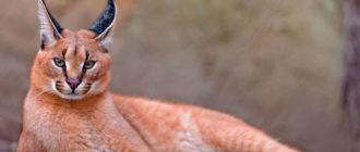 Пустынная рысь каракал