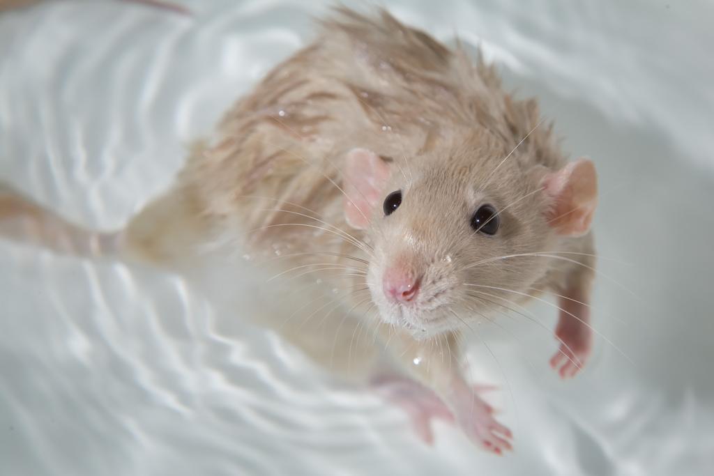 Купание крыс — процедура которая требует сноровки и грамотного подхода