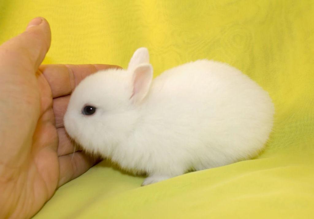 Карликовые кролики ласковы и чистоплотны, но очень подвержены болезням
