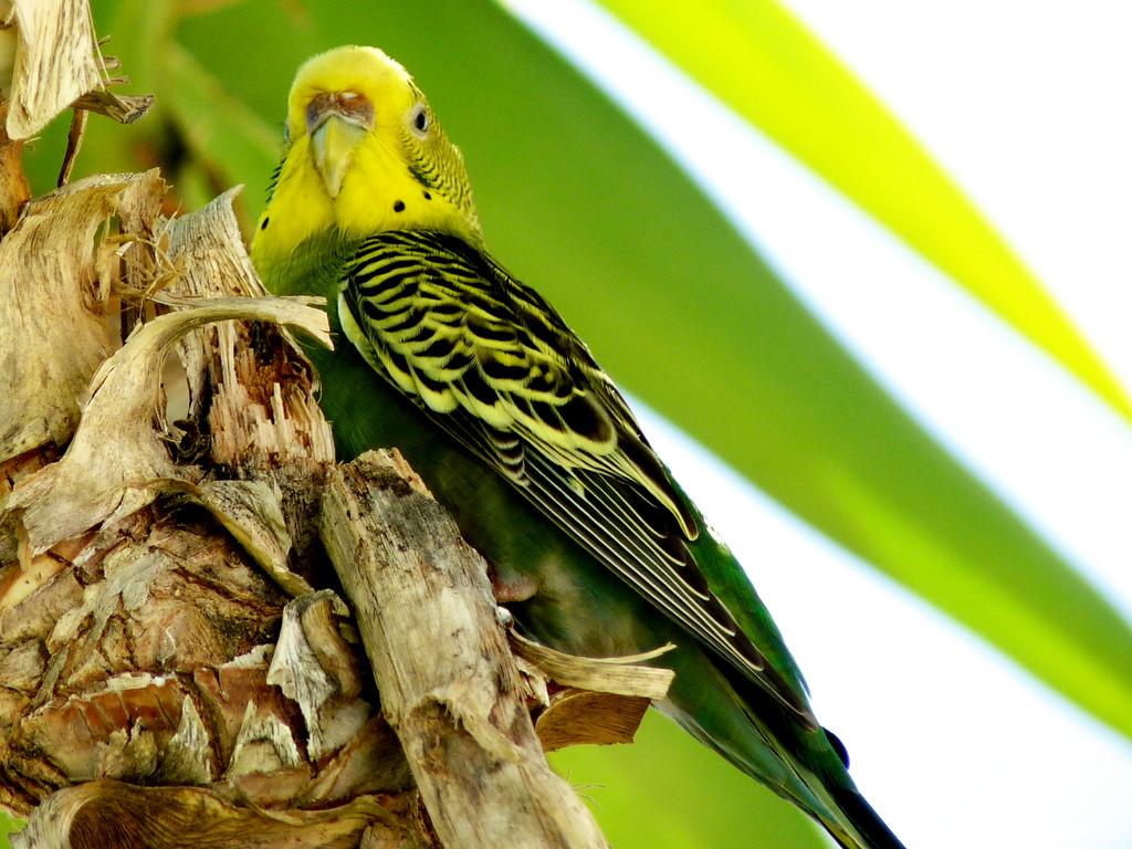 Продолжительность жизни волнистых попугаев в первую очередь обусловлена их видом