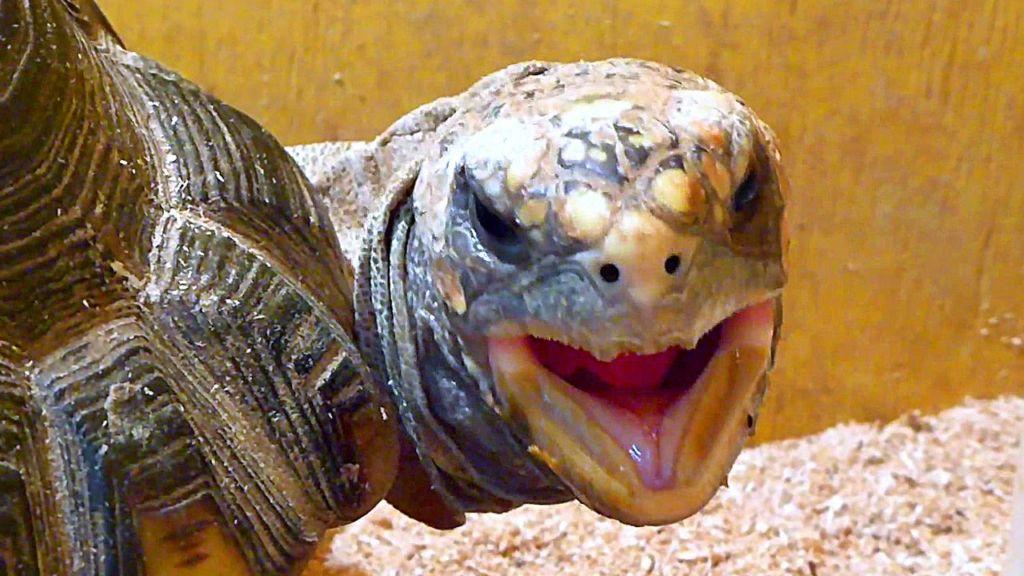 Рацион питания черепах во многом зависит от возраста