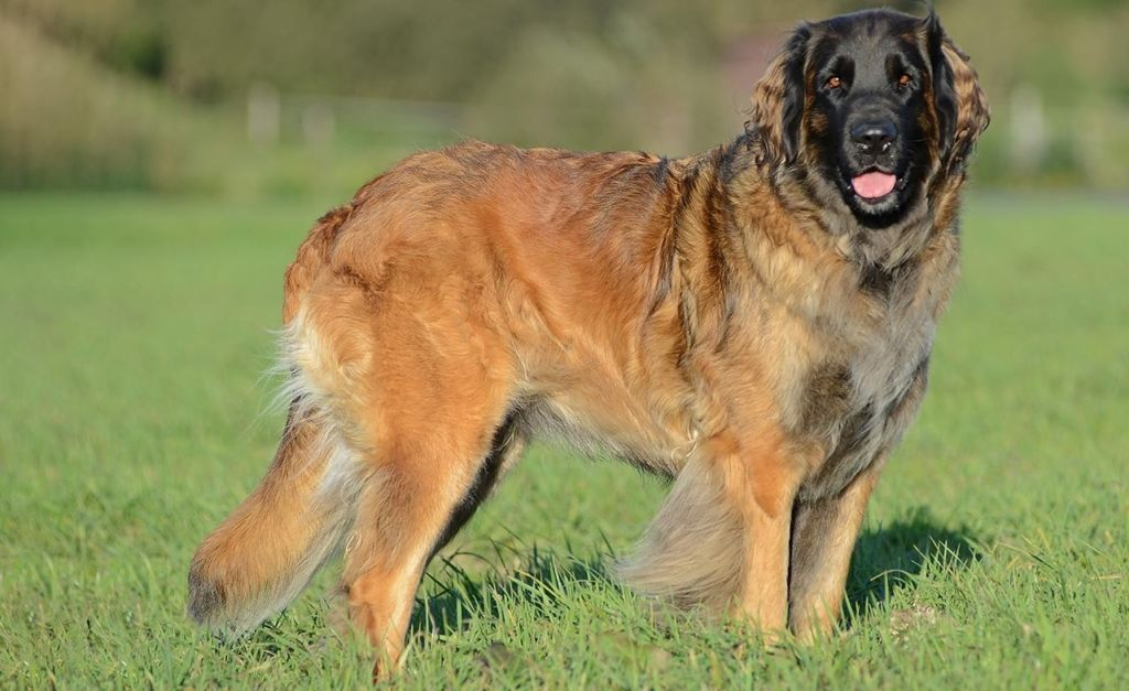 Португальская пастушья собака