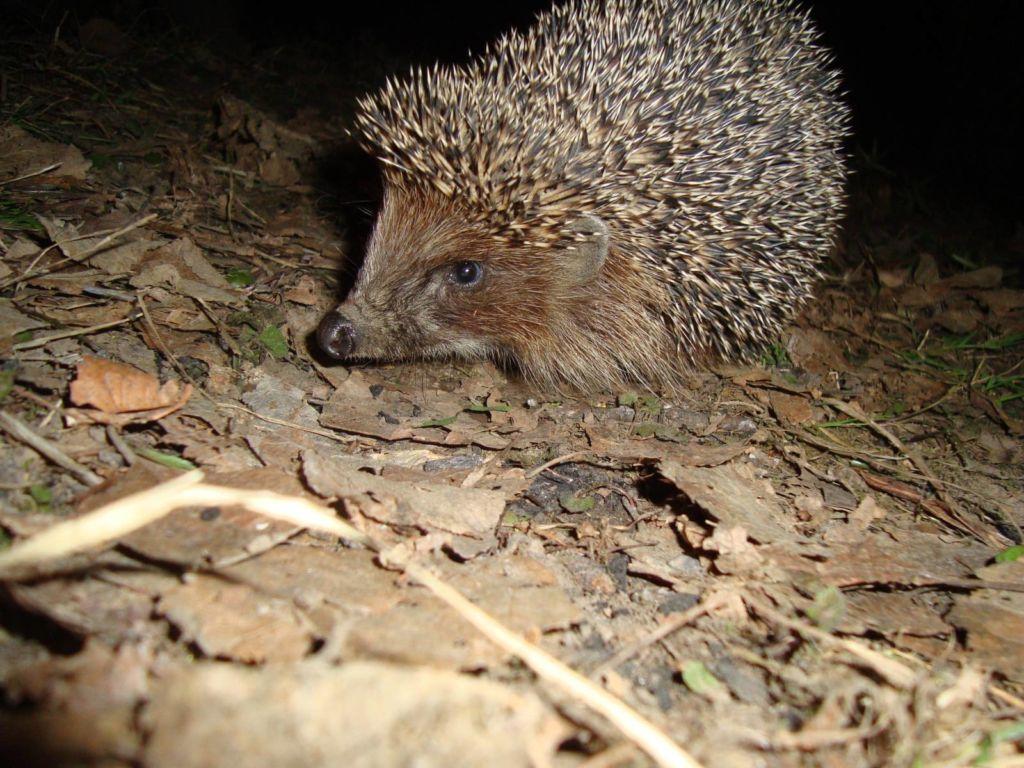 Колючие зверьки ведут одиночный ночной образ жизни