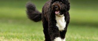 43 породы собак, которые не линяют и без запаха
