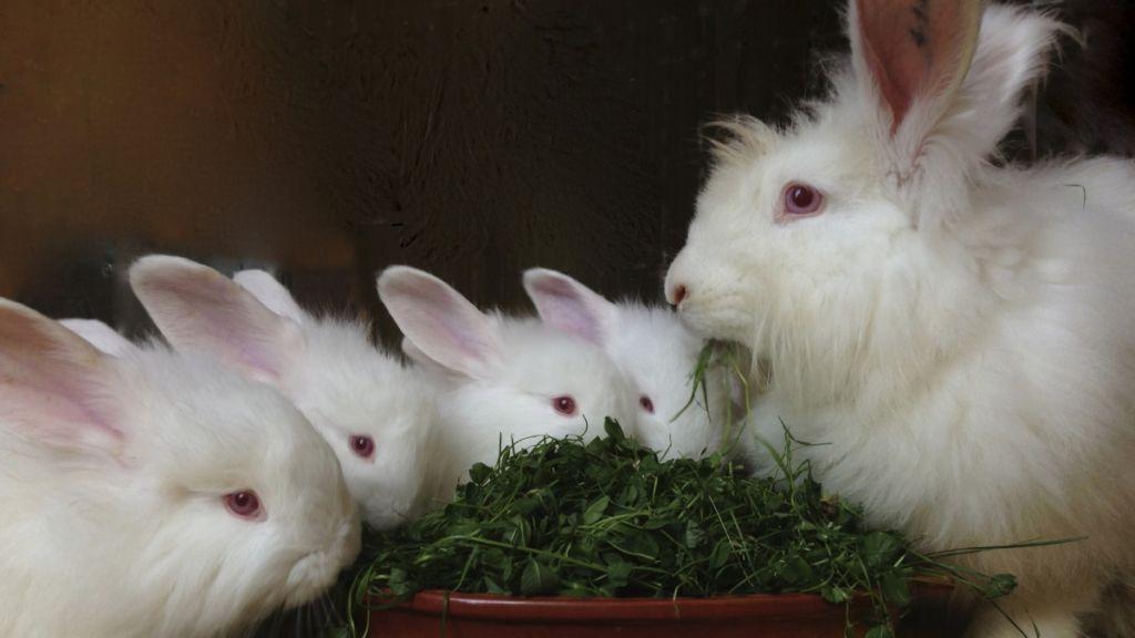 Длинношерстный кролик ангорский пуховой