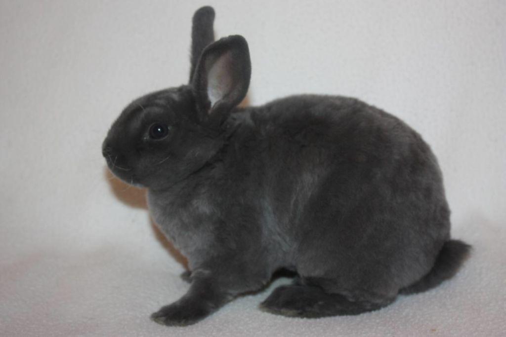 Короткошерстный кролик