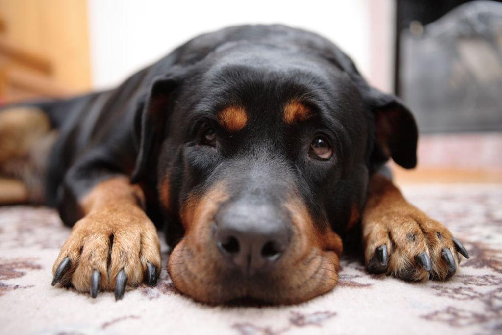 Что делать, когда у собаки ложная беременность