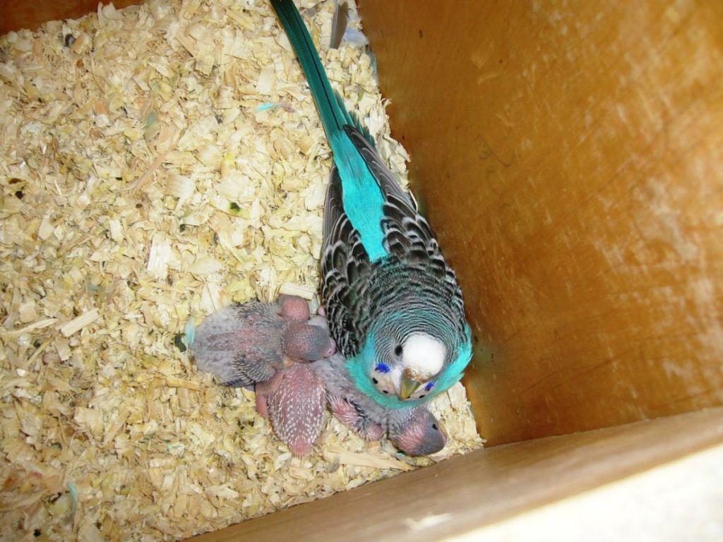 Как разводить волнистых попугаев начинающим фото