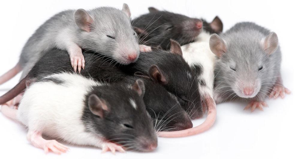 Ратологи уверены, что правильное содержание убережет от заболевания крыс, которых вы держите дома