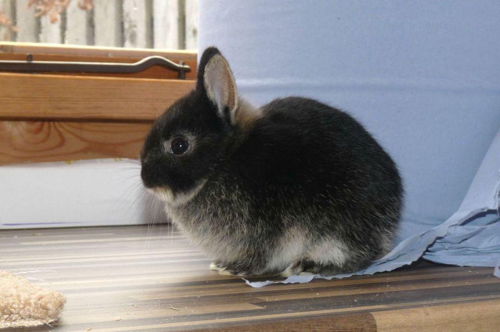 Карликовый кролик - очаровательное животное с шелковистой шёрсткой