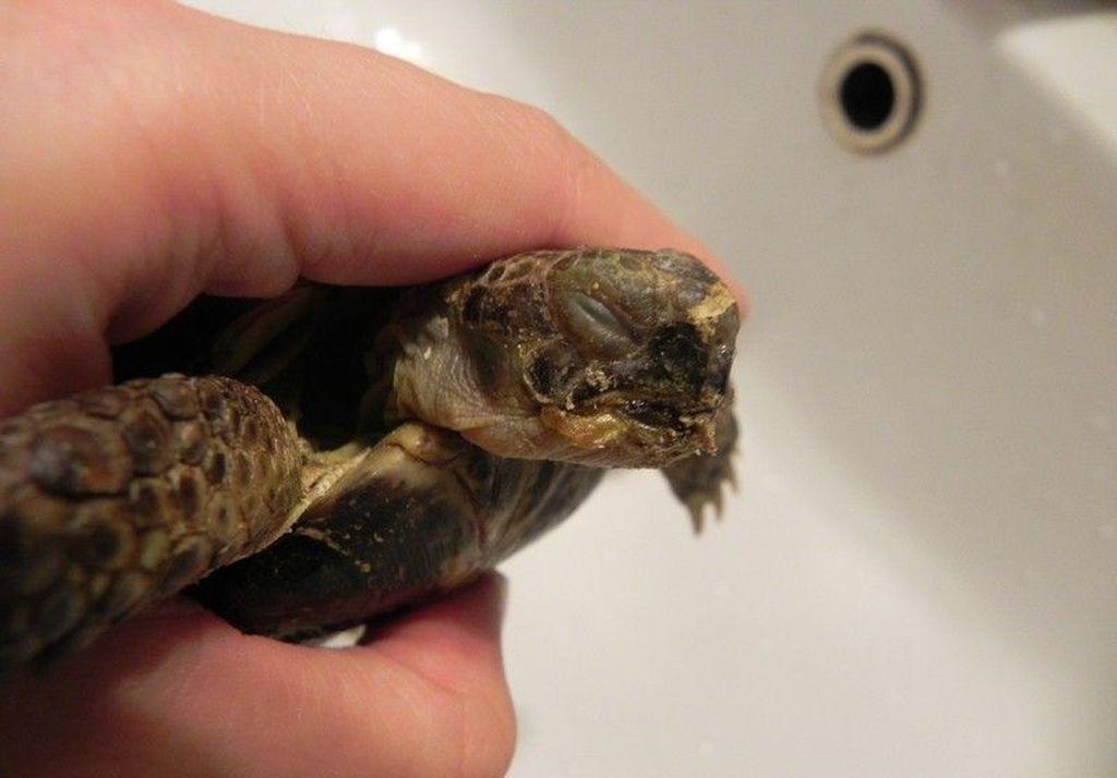 В спячке черепаха держит ротовую полость закрытой