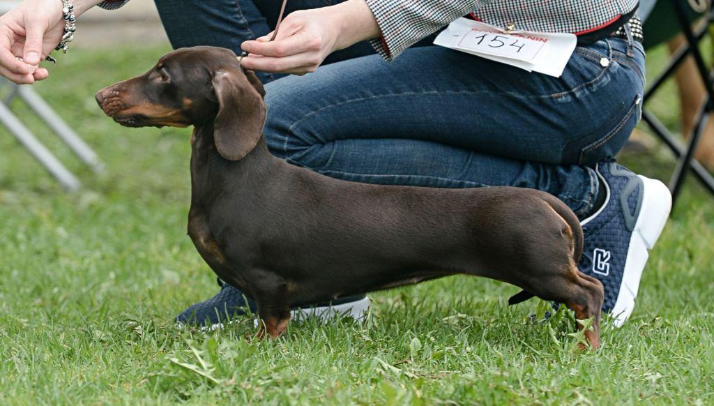 Гладкошерстные собаки