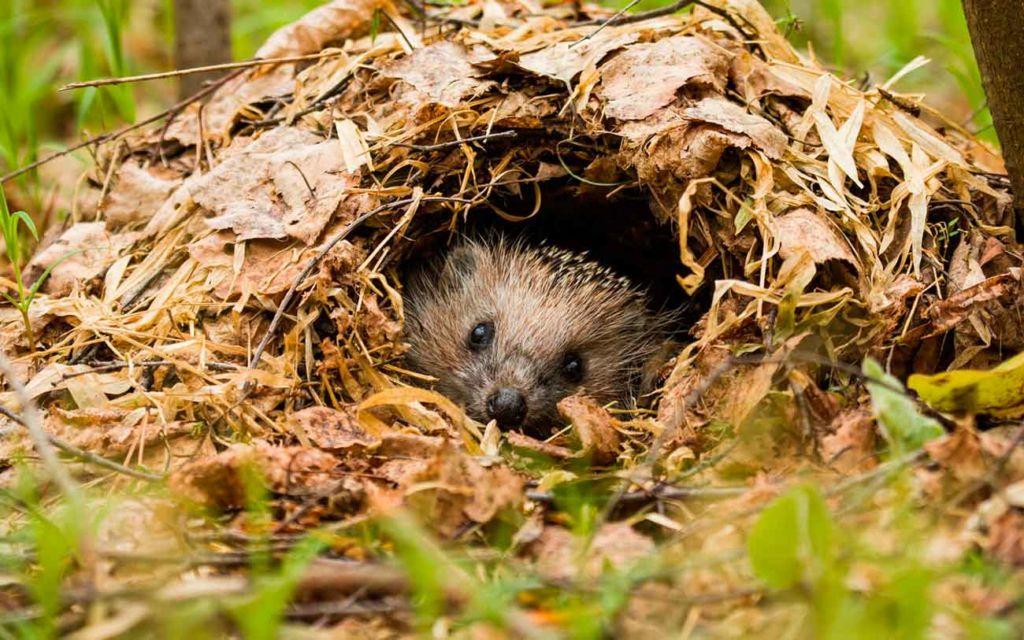 Эти животные роют себе небольшие норки в кустах и под корнями деревьев