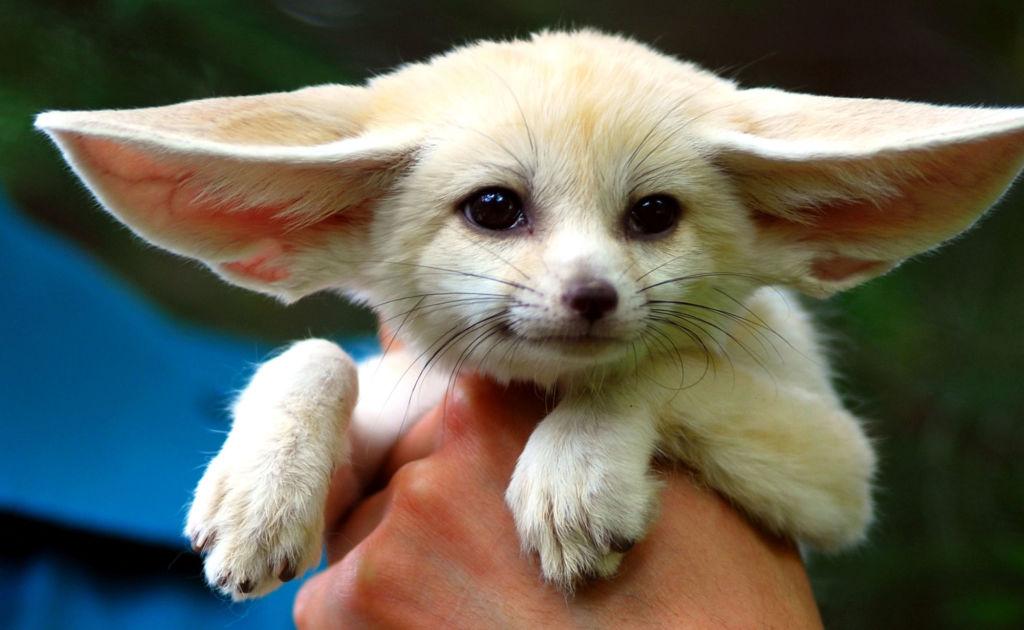 Фенек - маленькая степная лиса