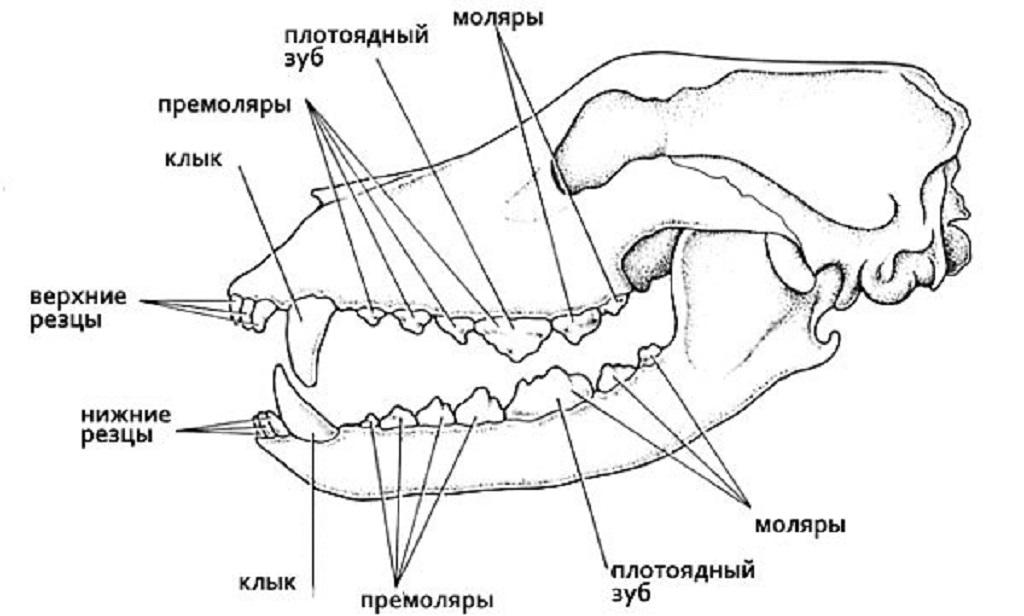 Строение зубов у собаки