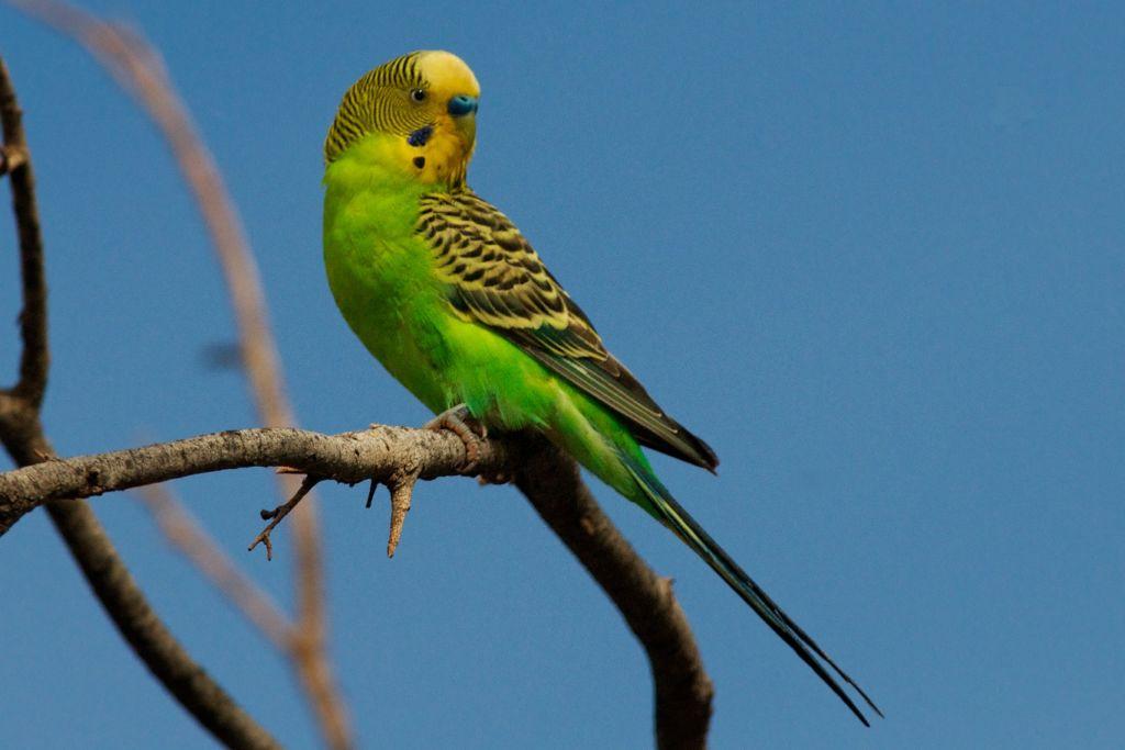 Родина волнистых попугаев далекая и таинственная Австралия