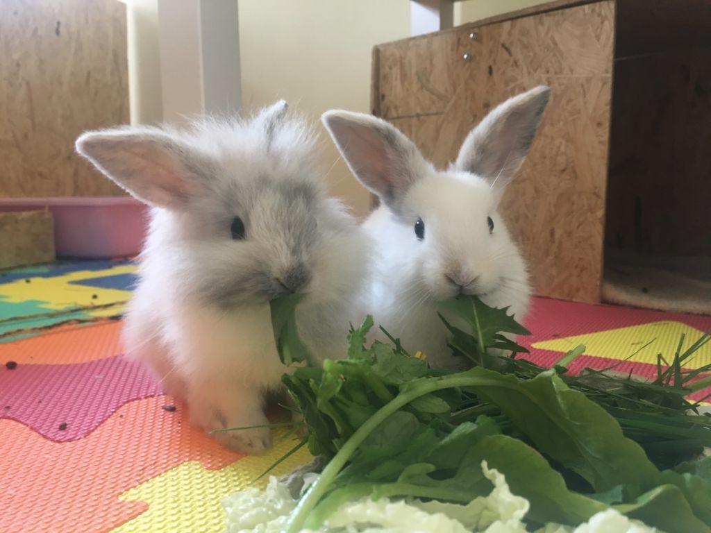 Карликовые кролики могут есть до 30 раз в день