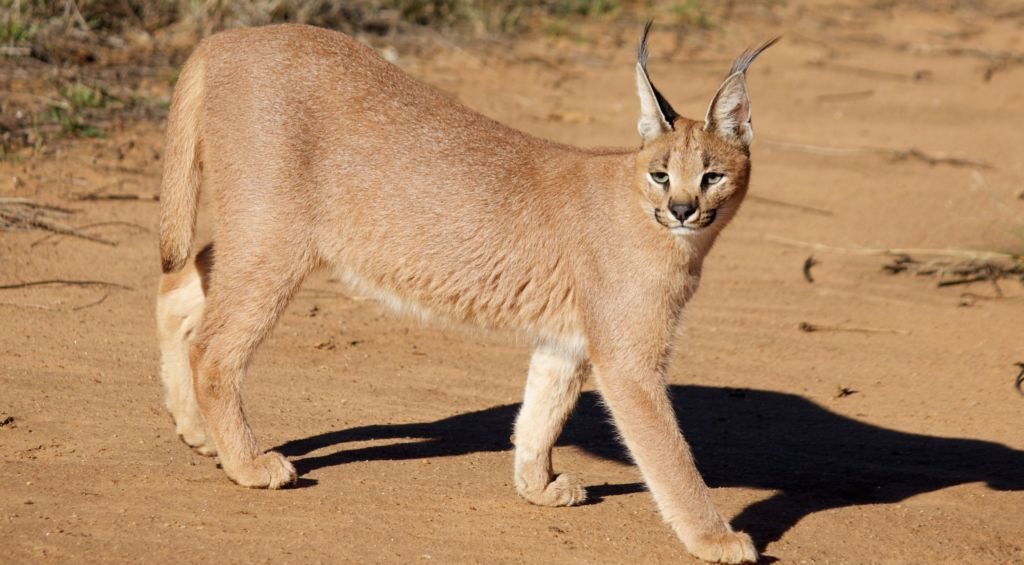 Каракал или степная рысь относится к хищным млекопитающим из семейства кошачьих