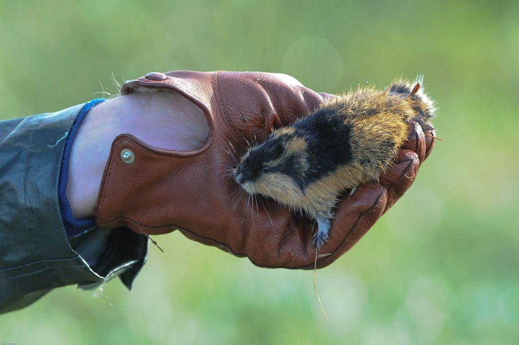 Лемминги — недружелюбные животные