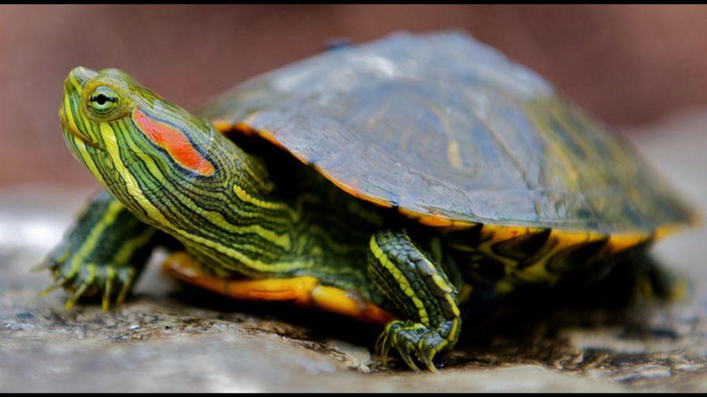 Уход, содержание, размножение красноухих черепах в домашних условиях