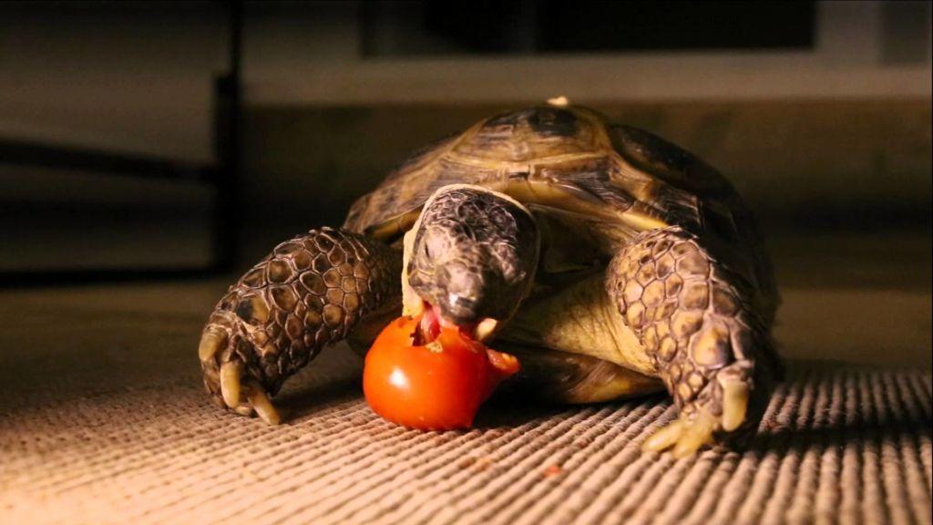 Чтобы правильно кормить черепах надо изучить, что они едят в природе