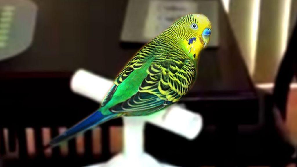 Клички для попугаев выбирают исходя из особенностей каждой птицы