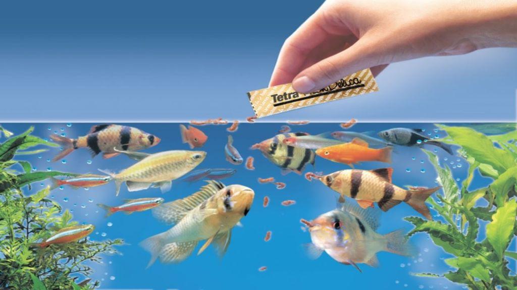 Рыбки способны запомнить многое, начиная с сопутствующих кормежку манипуляций
