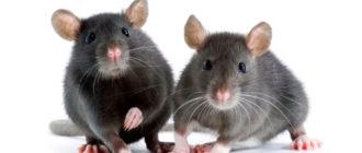 Правильное содержание крыс в домашних условиях
