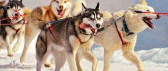 10 самых популярных пород ездовых собак