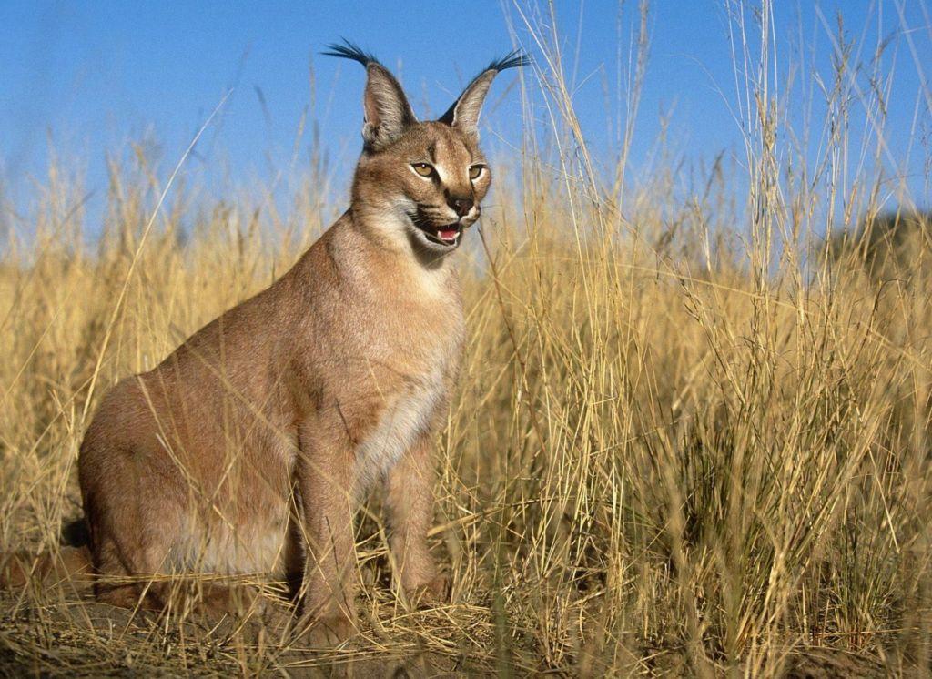 На данный момент ученым известно о девяти подвидах данного хищника